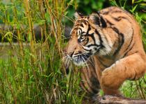 Tiger Man: A Life for an Eye » DREAMS Magazine