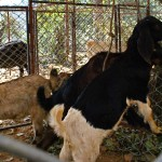 Goats from Palpa
