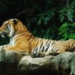 Tiger-banner